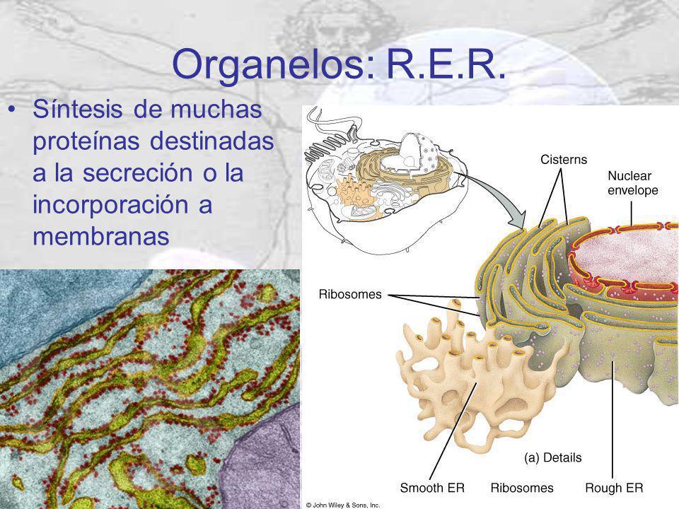 Organelos: R.E.R. Síntesis de muchas proteínas destinadas a la secreción o la incorporación a membranas