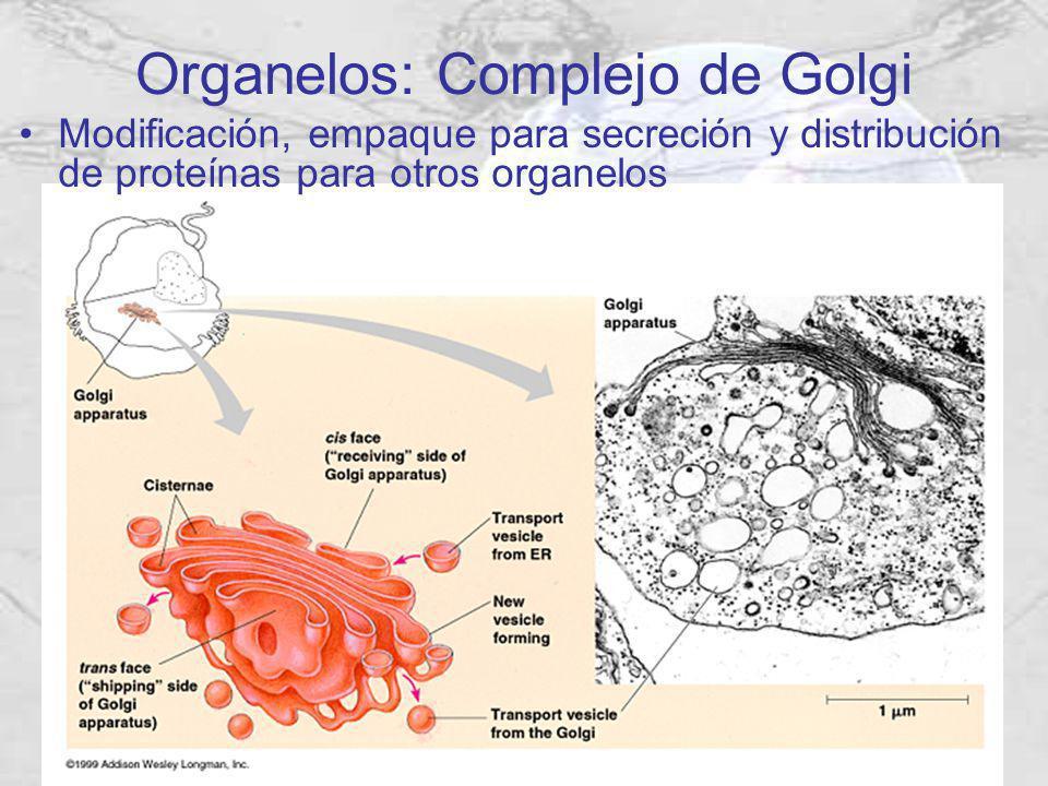 Organelos: Complejo de Golgi Modificación, empaque para secreción y distribución de proteínas para otros organelos