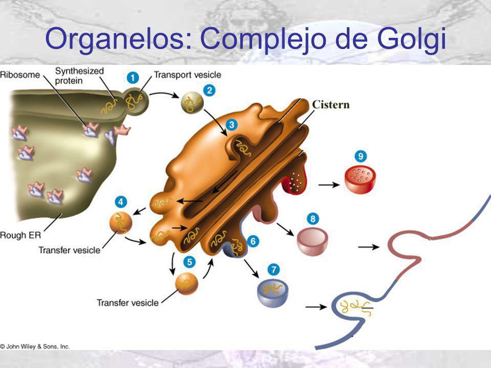 Organelos: Complejo de Golgi