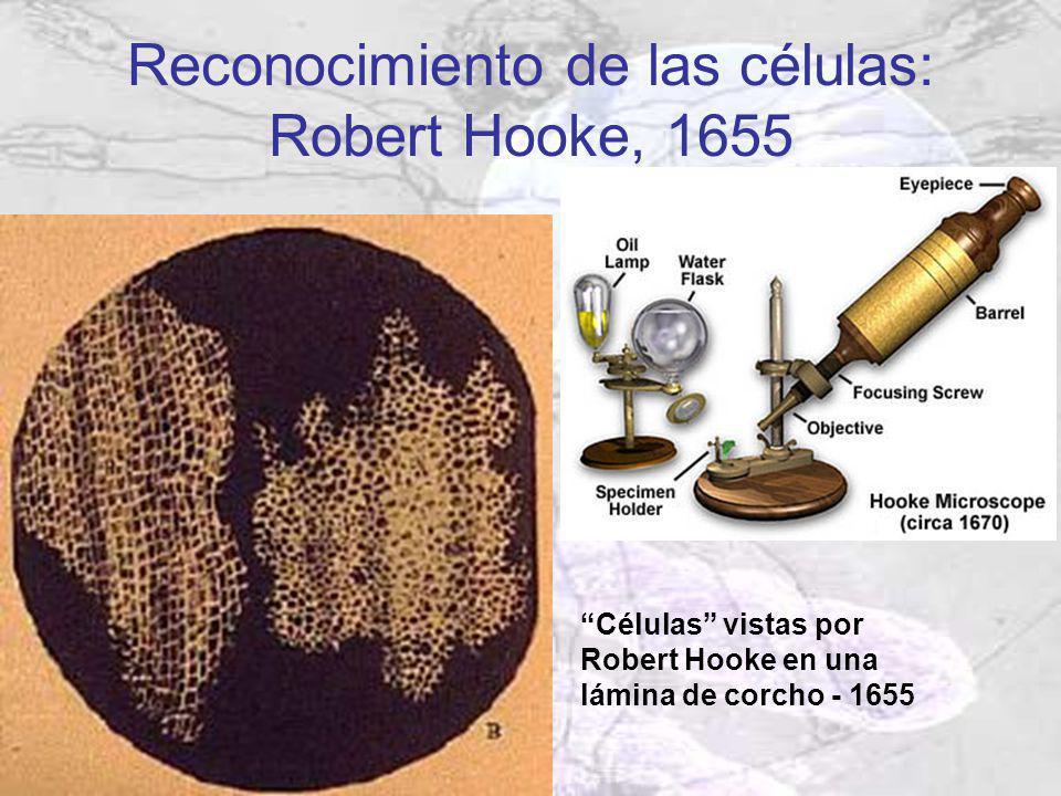 Células vistas por Robert Hooke en una lámina de corcho - 1655