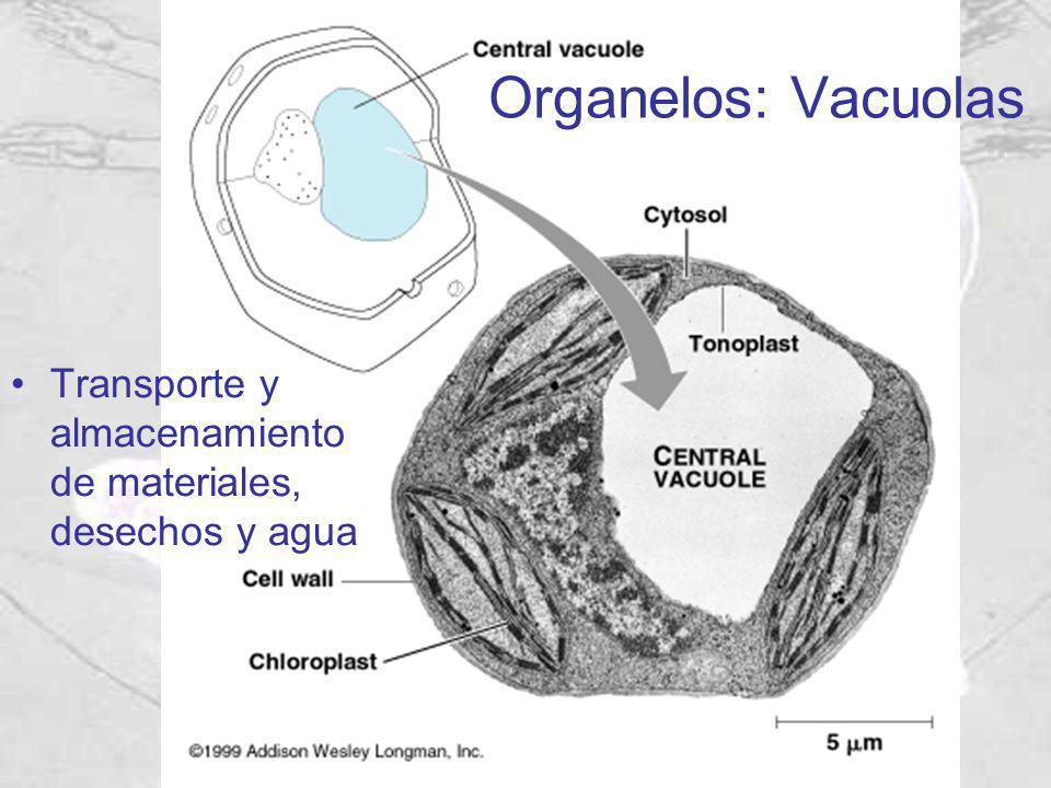Transporte y almacenamiento de materiales, desechos y agua Organelos: Vacuolas