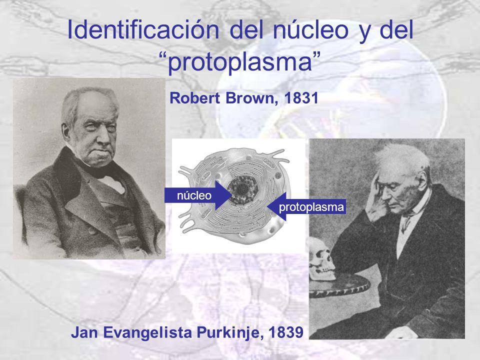 Identificación del núcleo y del protoplasma Robert Brown, 1831 Jan Evangelista Purkinje, 1839 núcleo protoplasma