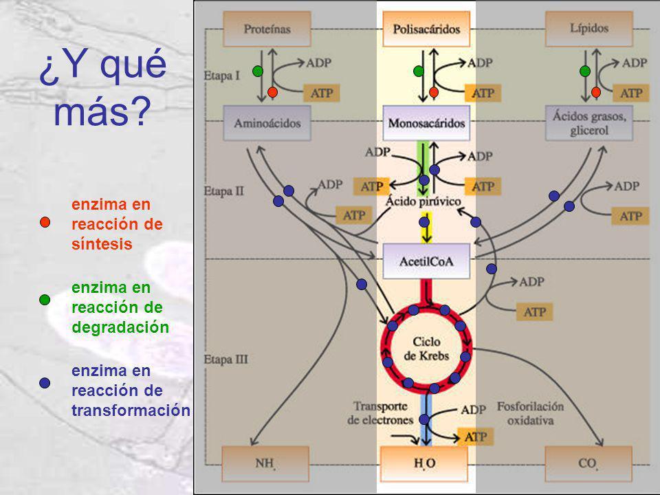 ¿Y qué más? enzima en reacción de síntesis enzima en reacción de degradación enzima en reacción de transformación