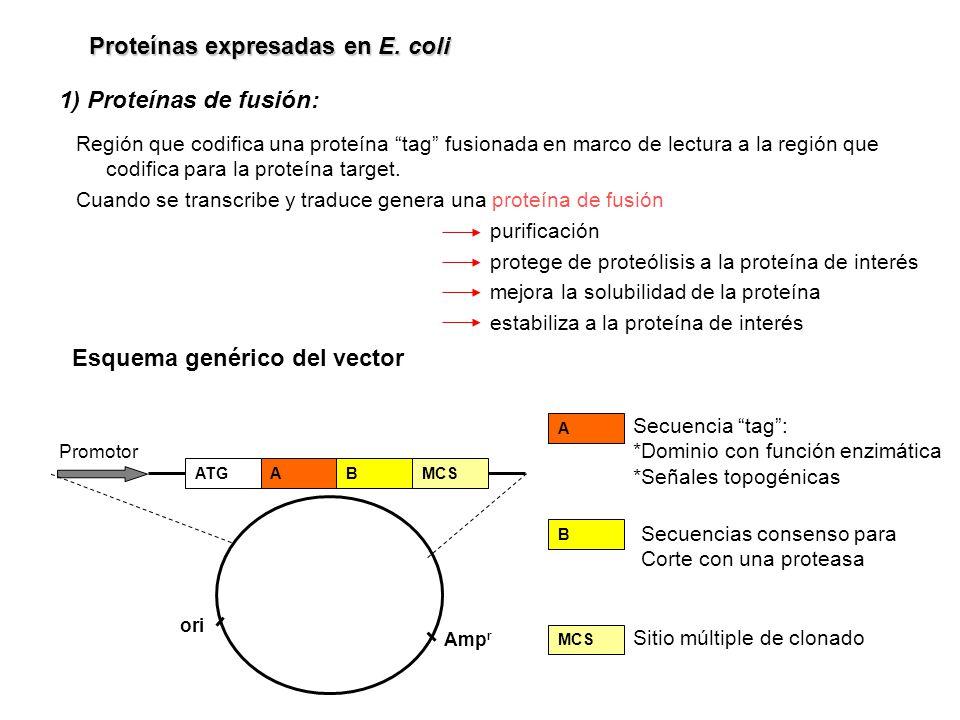 Proteínas expresadas en E. coli 1) Proteínas de fusión: Región que codifica una proteína tag fusionada en marco de lectura a la región que codifica pa