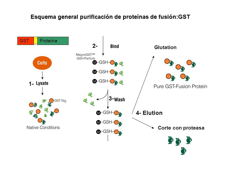 Esquema general purificación de proteínas de fusión:GST Glutation Corte con proteasa GSTProteína 1- 2- 3- 4- Elution