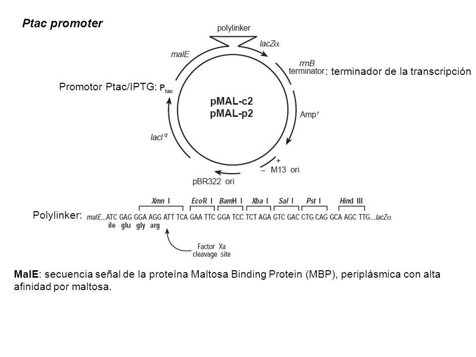 Ptac promoter MalE: secuencia señal de la proteína Maltosa Binding Protein (MBP), periplásmica con alta afinidad por maltosa. Promotor Ptac/IPTG: Poly