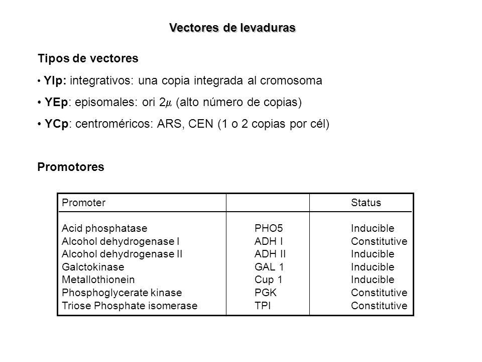 Tipos de vectores YIp: integrativos: una copia integrada al cromosoma YEp: episomales: ori 2 (alto número de copias) YCp: centroméricos: ARS, CEN (1 o