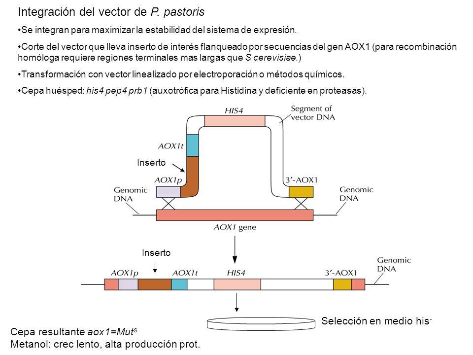 Integración del vector de P. pastoris Se integran para maximizar la estabilidad del sistema de expresión. Corte del vector que lleva inserto de interé