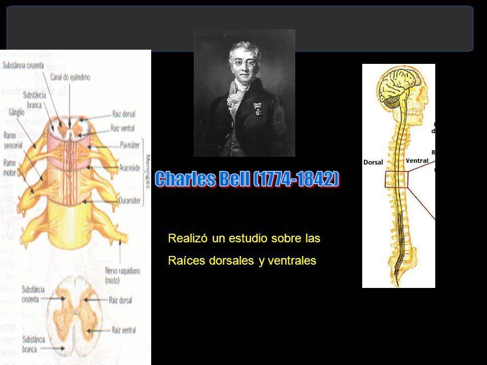 Realizó un estudio sobre las Raíces dorsales y ventrales