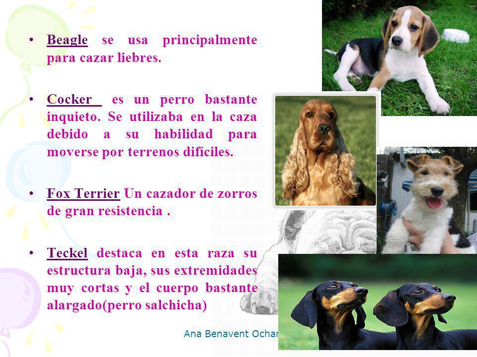 Ana Benavent Ochando 11 Beagle se usa principalmente para cazar liebres. Cocker es un perro bastante inquieto. Se utilizaba en la caza debido a su hab