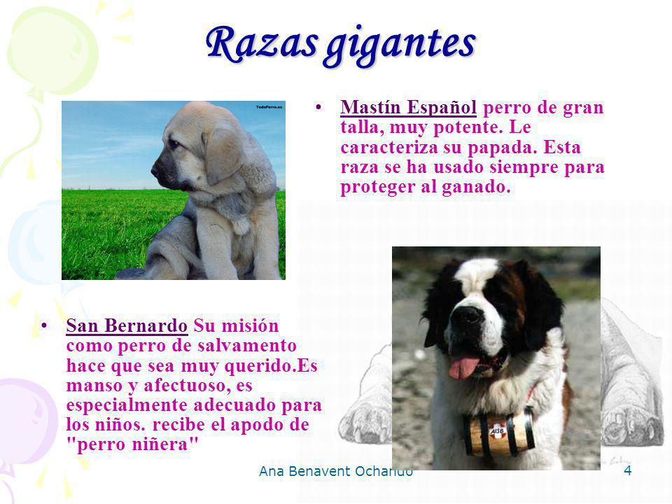Ana Benavent Ochando 4 Razas gigantes San Bernardo Su misión como perro de salvamento hace que sea muy querido.Es manso y afectuoso, es especialmente