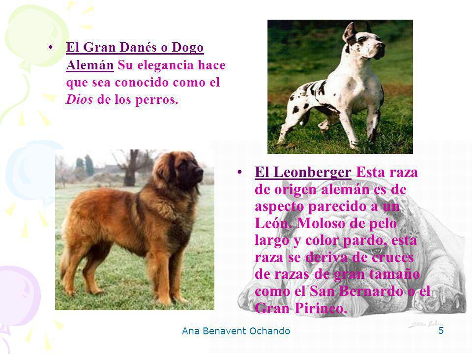 Ana Benavent Ochando 5 El Gran Danés o Dogo Alemán Su elegancia hace que sea conocido como el Dios de los perros. El Leonberger Esta raza de origen al