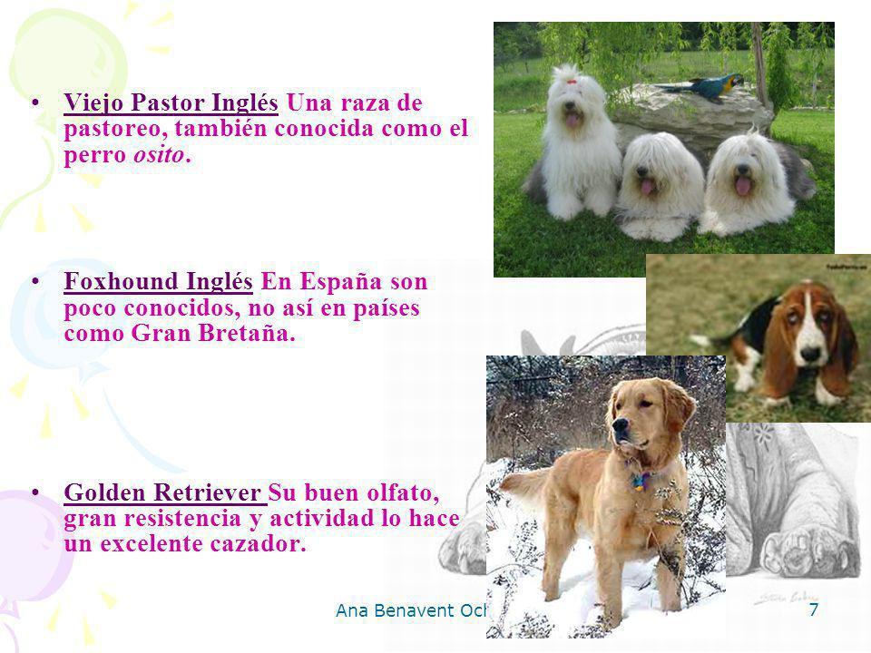 Ana Benavent Ochando 7 Viejo Pastor Inglés Una raza de pastoreo, también conocida como el perro osito. Foxhound Inglés En España son poco conocidos, n