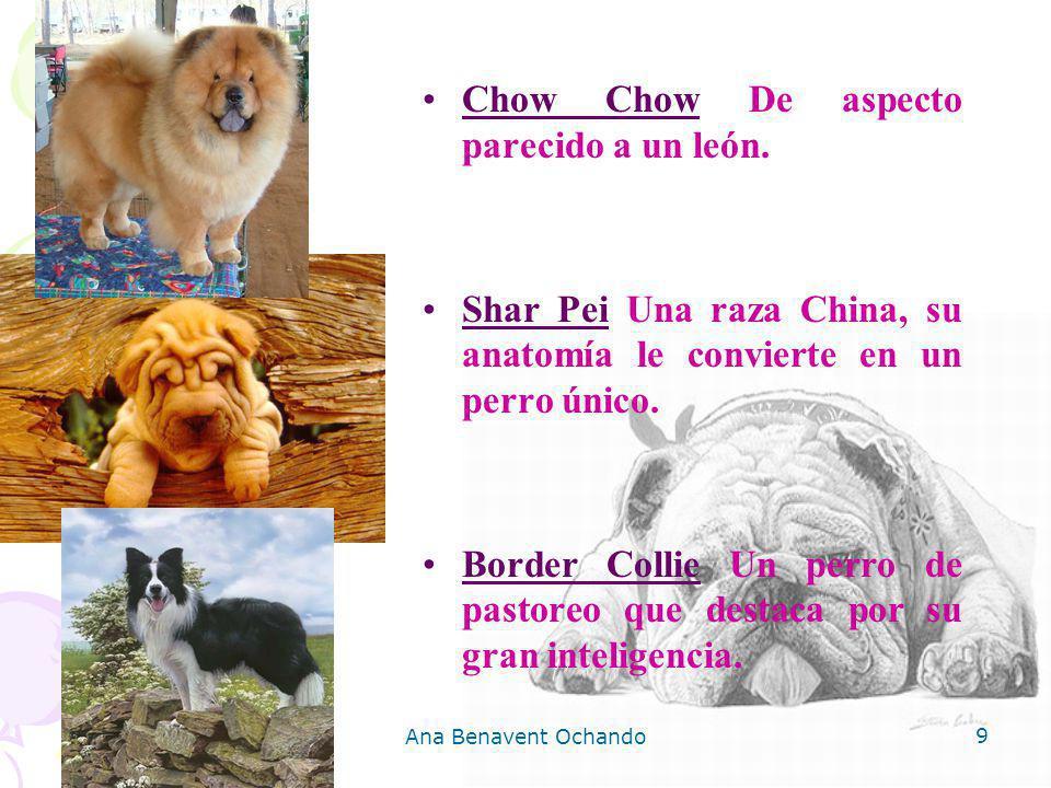 Ana Benavent Ochando 9 Chow Chow De aspecto parecido a un león. Shar Pei Una raza China, su anatomía le convierte en un perro único. Border Collie Un