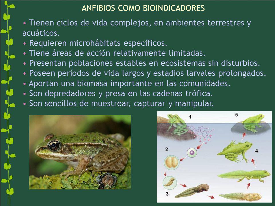 ANFIBIOS COMO BIOINDICADORES Tienen ciclos de vida complejos, en ambientes terrestres y acuáticos. Requieren microhábitats específicos. Tiene áreas de