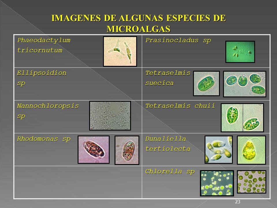 23 IMAGENES DE ALGUNAS ESPECIES DE MICROALGAS Phaeodactylumtricornutum Prasinocladus sp EllipsoidionspTetraselmissuecica Nannochloropsissp Tetraselmis
