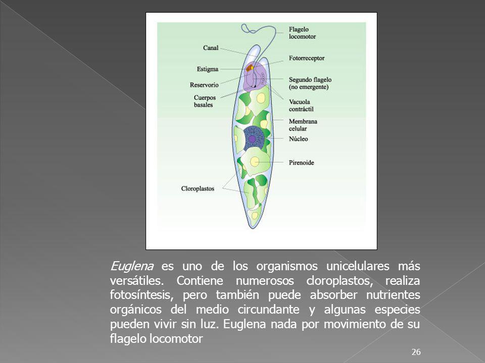 26 Euglena es uno de los organismos unicelulares más versátiles. Contiene numerosos cloroplastos, realiza fotosíntesis, pero también puede absorber nu