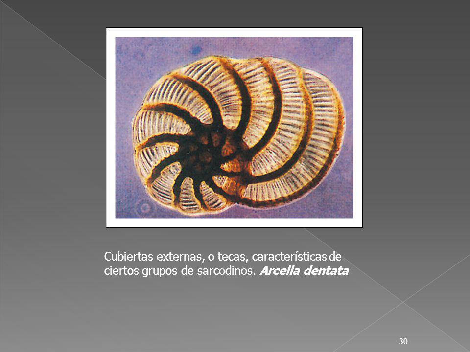 30 Cubiertas externas, o tecas, características de ciertos grupos de sarcodinos. Arcella dentata