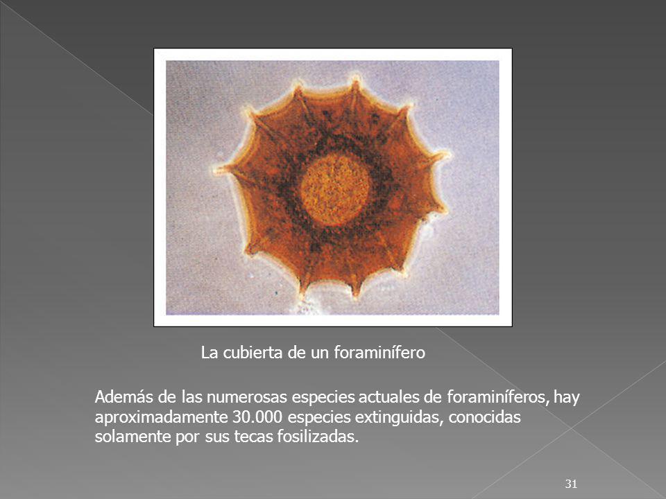 31 La cubierta de un foraminífero Además de las numerosas especies actuales de foraminíferos, hay aproximadamente 30.000 especies extinguidas, conocid