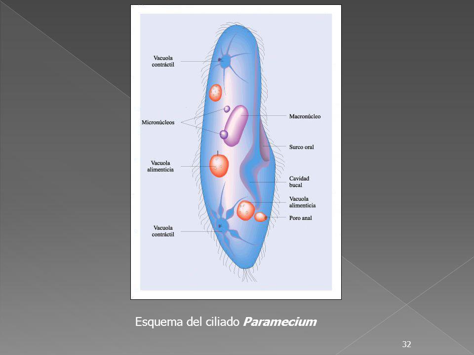 32 Esquema del ciliado Paramecium