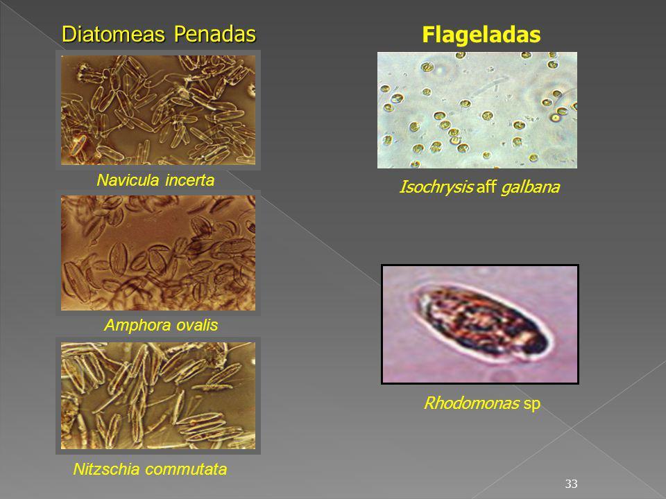33 Diatomeas Penadas Nitzschia commutata Amphora ovalis Navicula incerta Flageladas Isochrysis aff galbana Rhodomonas sp