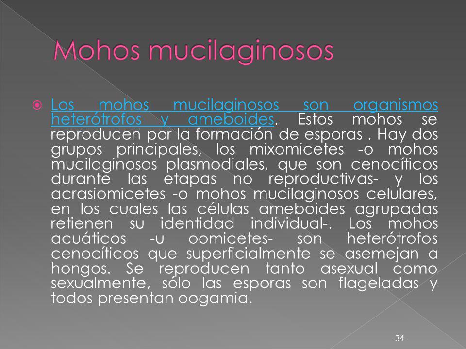 Los mohos mucilaginosos son organismos heterótrofos y ameboides. Estos mohos se reproducen por la formación de esporas. Hay dos grupos principales, lo