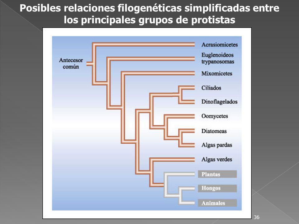 36 Posibles relaciones filogenéticas simplificadas entre los principales grupos de protistas