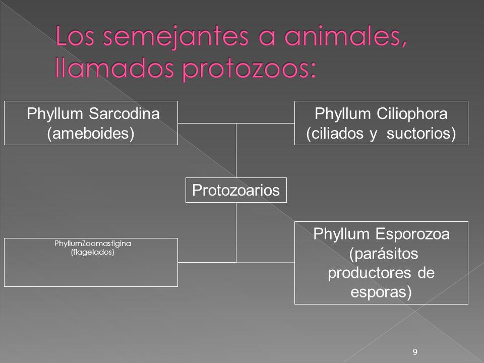 PhyllumZoomastigina (flagelados) 9 Phyllum Sarcodina (ameboides) Phyllum Ciliophora (ciliados y suctorios) Phyllum Esporozoa (parásitos productores de