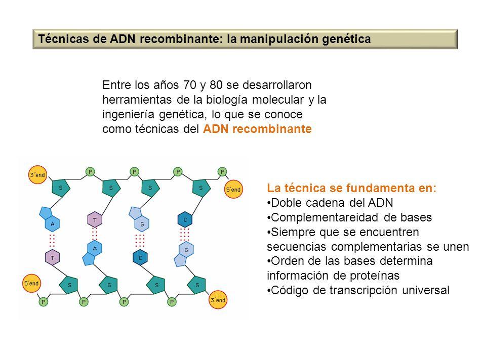 Técnicas de ADN recombinante: la manipulación genética Entre los años 70 y 80 se desarrollaron herramientas de la biología molecular y la ingeniería g