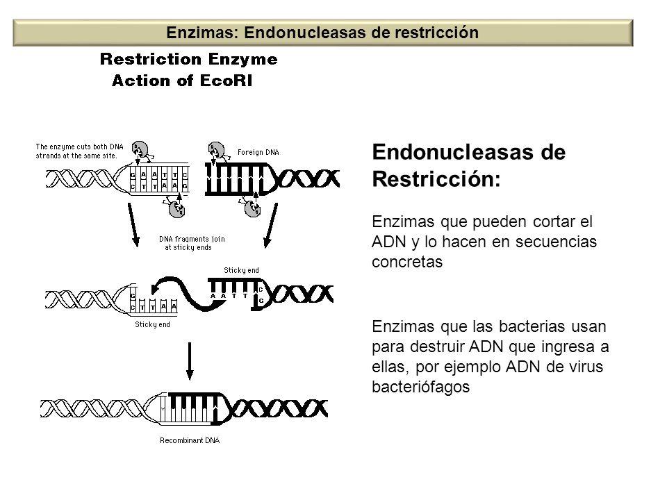 Endonucleasas de Restricción: Enzimas que pueden cortar el ADN y lo hacen en secuencias concretas Enzimas que las bacterias usan para destruir ADN que