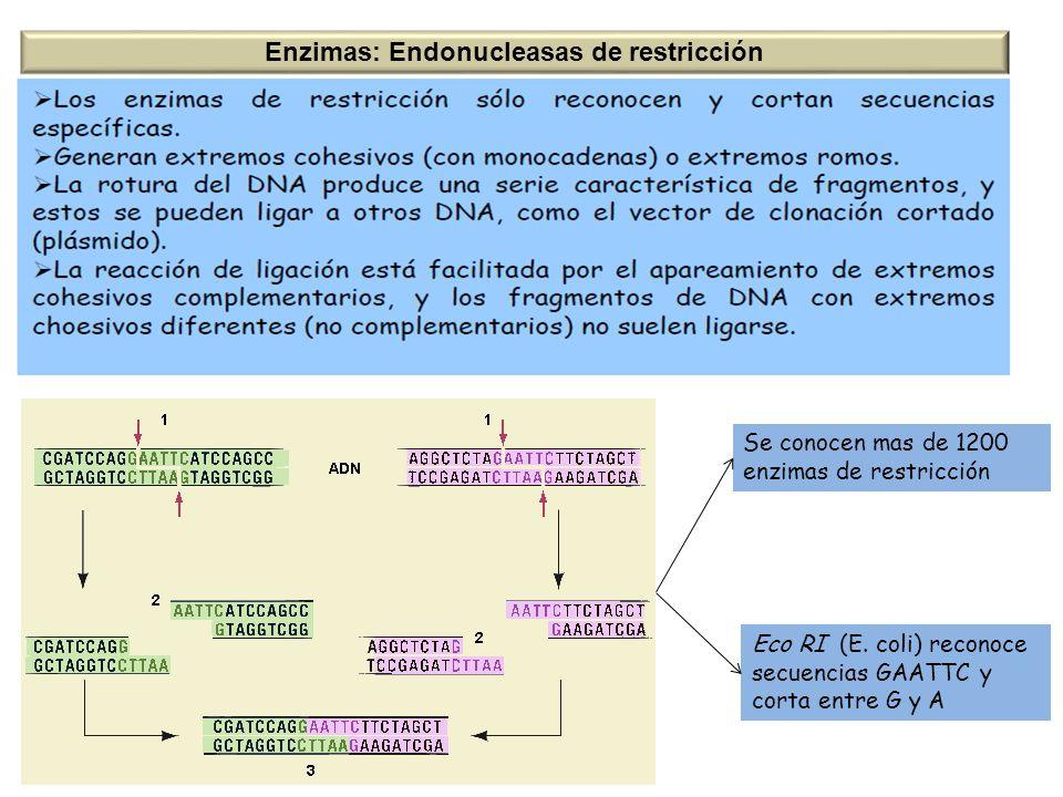 Se conocen mas de 1200 enzimas de restricción Eco RI (E. coli) reconoce secuencias GAATTC y corta entre G y A