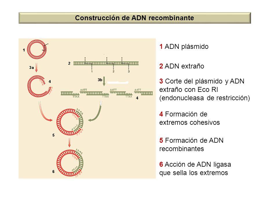 1 ADN plásmido 2 ADN extraño 3 Corte del plásmido y ADN extraño con Eco RI (endonucleasa de restricción) 4 Formación de extremos cohesivos 5 Formación