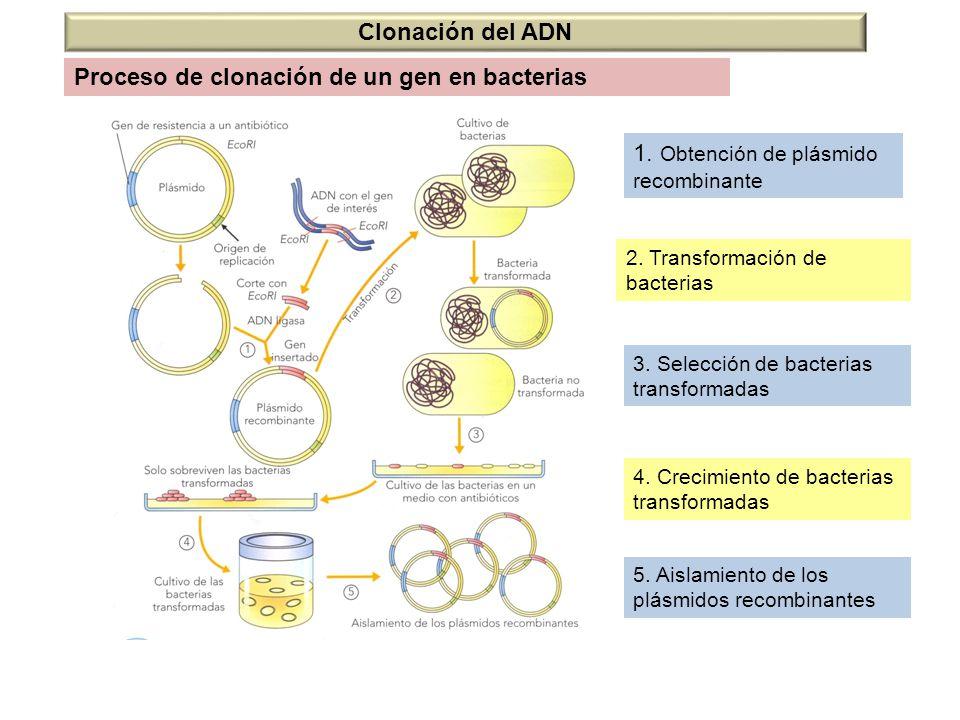 Clonación del ADN 1. Obtención de plásmido recombinante 2. Transformación de bacterias 3. Selección de bacterias transformadas 4. Crecimiento de bacte