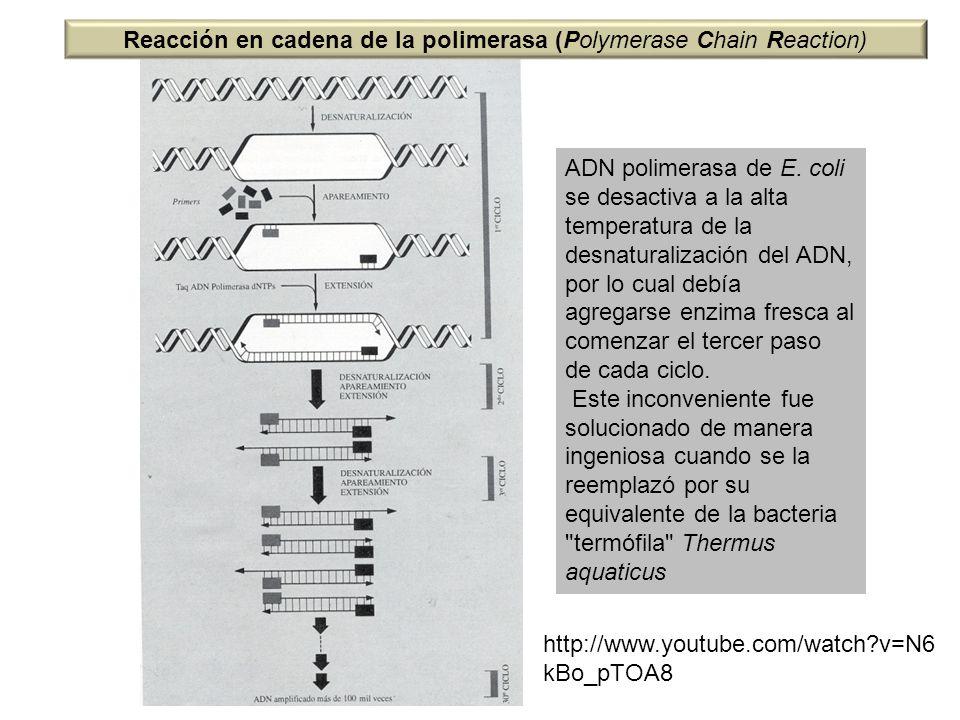 ADN polimerasa de E. coli se desactiva a la alta temperatura de la desnaturalización del ADN, por lo cual debía agregarse enzima fresca al comenzar el