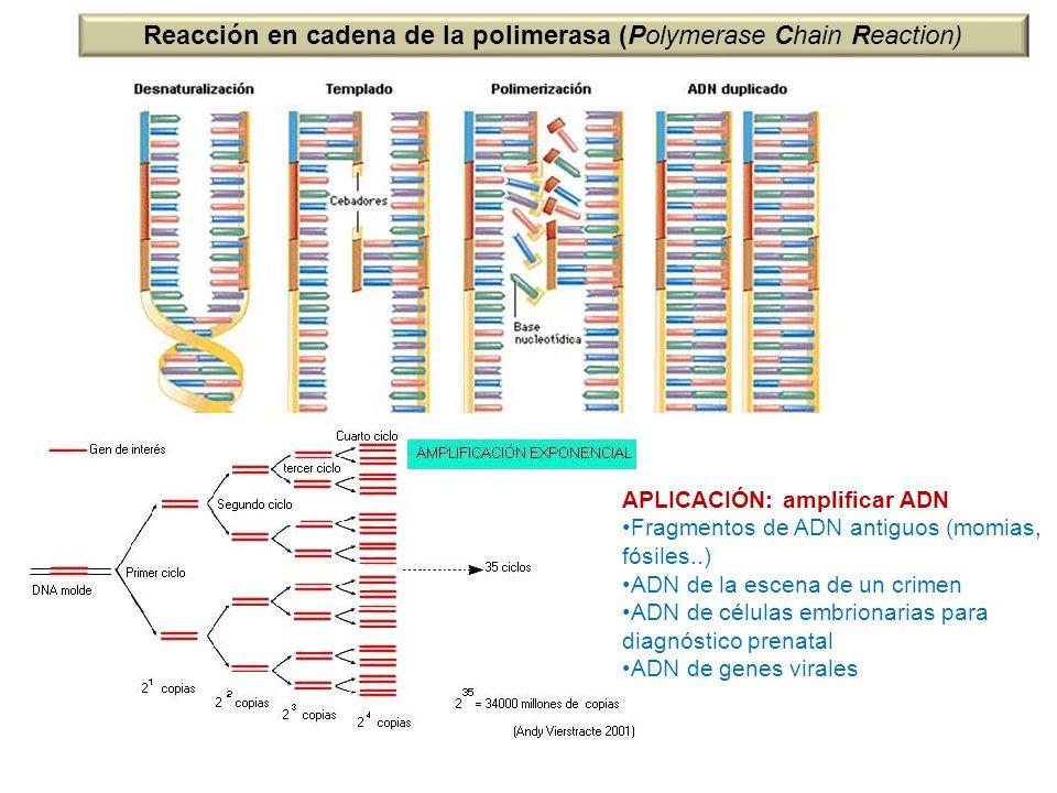 Reacción en cadena de la polimerasa (Polymerase Chain Reaction) APLICACIÓN: amplificar ADN Fragmentos de ADN antiguos (momias, fósiles..) ADN de la es