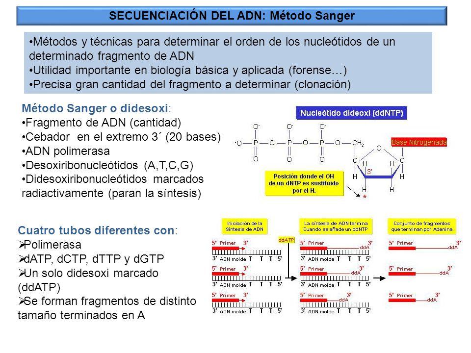 SECUENCIACIÓN DEL ADN: Método Sanger Métodos y técnicas para determinar el orden de los nucleótidos de un determinado fragmento de ADN Utilidad import