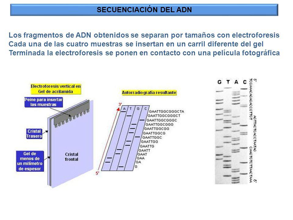 SECUENCIACIÓN DEL ADN Los fragmentos de ADN obtenidos se separan por tamaños con electroforesis Cada una de las cuatro muestras se insertan en un carr