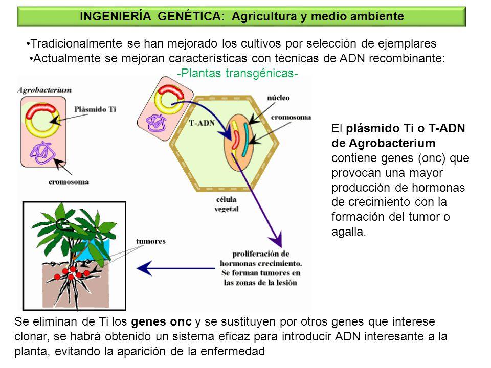 El plásmido Ti o T-ADN de Agrobacterium contiene genes (onc) que provocan una mayor producción de hormonas de crecimiento con la formación del tumor o