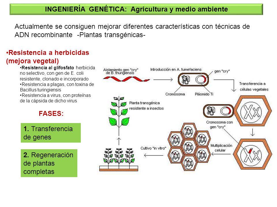 INGENIERÍA GENÉTICA: Agricultura y medio ambiente Actualmente se consiguen mejorar diferentes características con técnicas de ADN recombinante -Planta