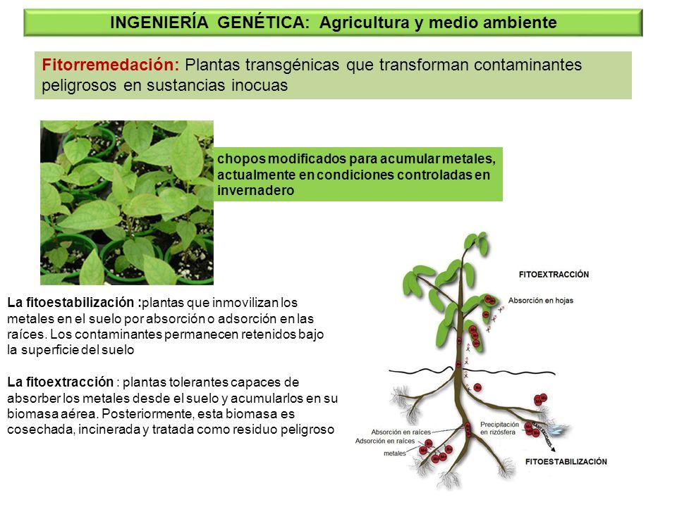 Fitorremedación: Plantas transgénicas que transforman contaminantes peligrosos en sustancias inocuas INGENIERÍA GENÉTICA: Agricultura y medio ambiente