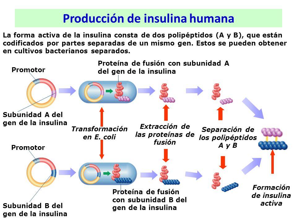La forma activa de la insulina consta de dos polipéptidos (A y B), que están codificados por partes separadas de un mismo gen. Estos se pueden obtener