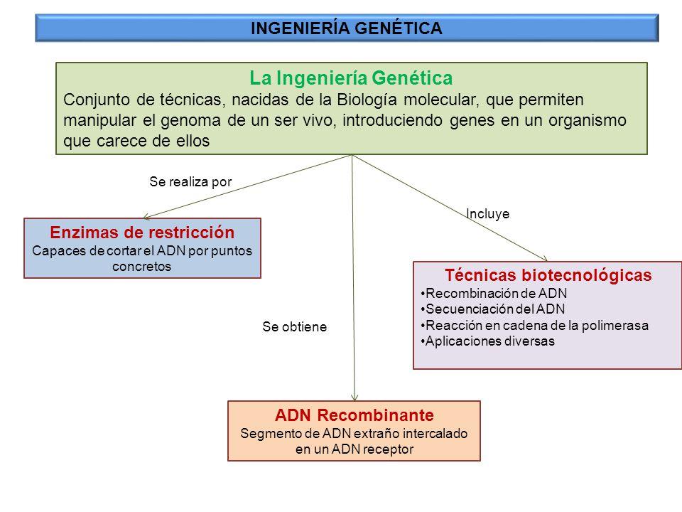Medio Ambiente: Utilización de organismos genéticamente modificados para eliminar contaminantes INGENIERÍA GENÉTICA: Agricultura y medio ambiente Biorremedación: bacterias modificadas para degradar hidrocarburos Bioadsorción: Bacterias modificadas que adsorben en su superficie metales pesados