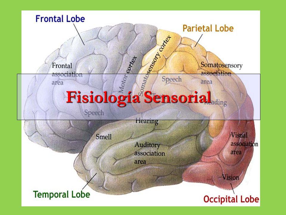Sistema Nervioso Sensorial SN SNC SNP Cerebro Medula Espinal Sensorial (aferente) Motor (eferente) Somático Visceral Somático (voluntario) Autónomo (involuntario)