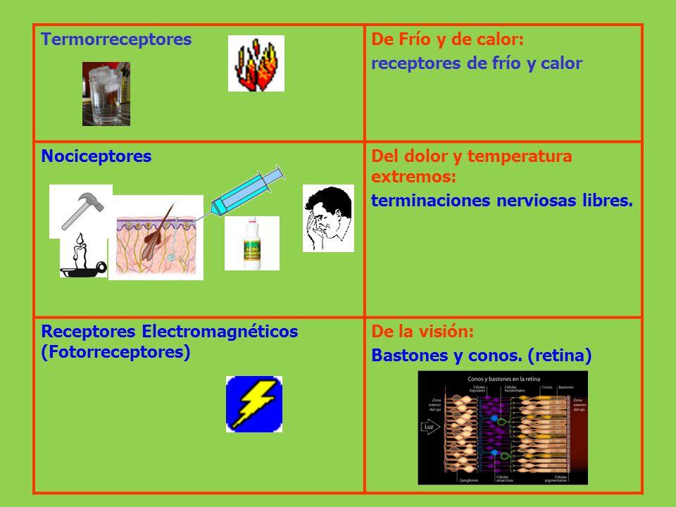 TermorreceptoresDe Frío y de calor: receptores de frío y calor NociceptoresDel dolor y temperatura extremos: terminaciones nerviosas libres. Receptore