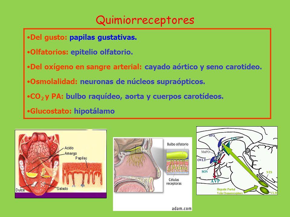 Quimiorreceptores Del gusto: papilas gustativas. Olfatorios: epitelio olfatorio. Del oxígeno en sangre arterial: cayado aórtico y seno carotideo. Osmo