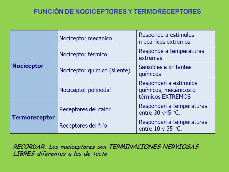 RECORDAR: Los nociceptores son TERMINACIONES NERVIOSAS LIBRES diferentes a las de tacto FUNCIÓN DE NOCICEPTORES Y TERMORECEPTORES Nociceptor Nocicepto