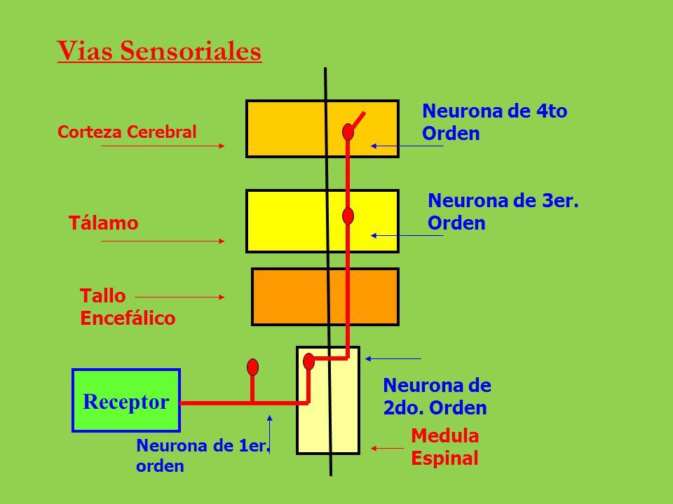 Vias Sensoriales Receptor Corteza Cerebral Tálamo Tallo Encefálico Medula Espinal Neurona de 4to Orden Neurona de 3er. Orden Neurona de 2do. Orden Neu