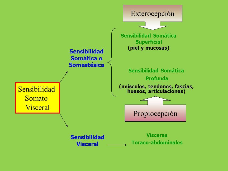 Sensibilidad Somática Superficial (piel y mucosas) Sensibilidad Somática Profunda (músculos, tendones, fascias, huesos, articulaciones) Vísceras Torac