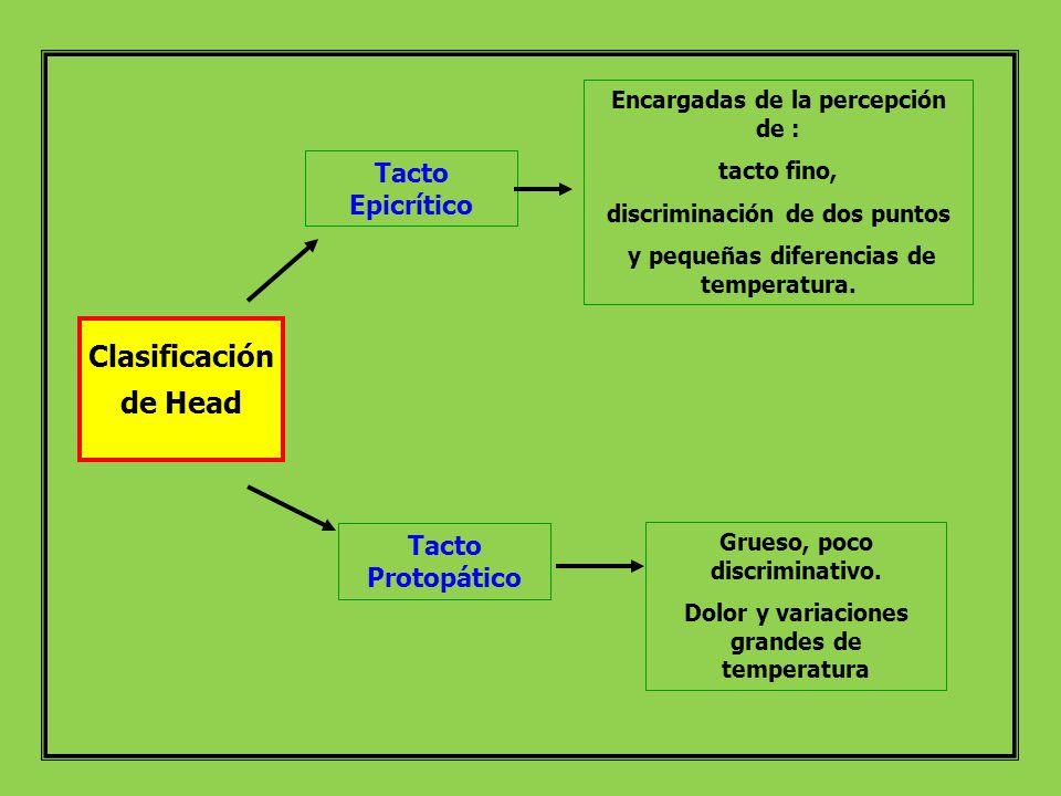 Clasificación de Head Tacto Epicrítico Encargadas de la percepción de : tacto fino, discriminación de dos puntos y pequeñas diferencias de temperatura