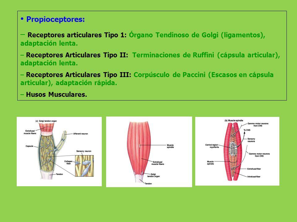 Propioceptores: – Receptores articulares Tipo 1: Órgano Tendinoso de Golgi (ligamentos), adaptación lenta. – Receptores Articulares Tipo II: Terminaci